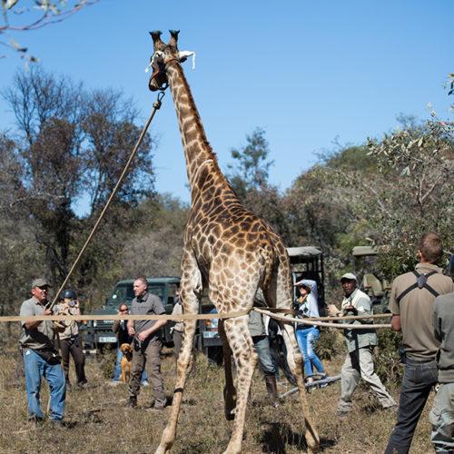 GC2017_Saturday_Giraffe-23