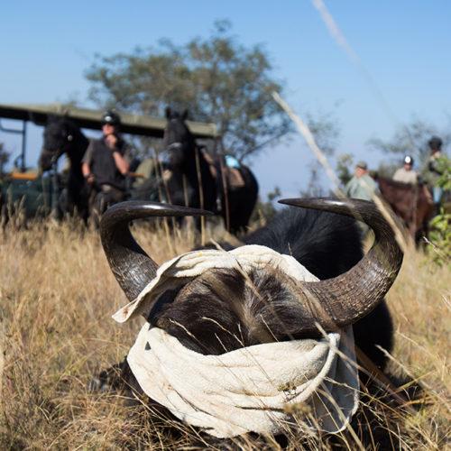 GC2017_Wednesday_Buffalo-Kudu-Eland-2