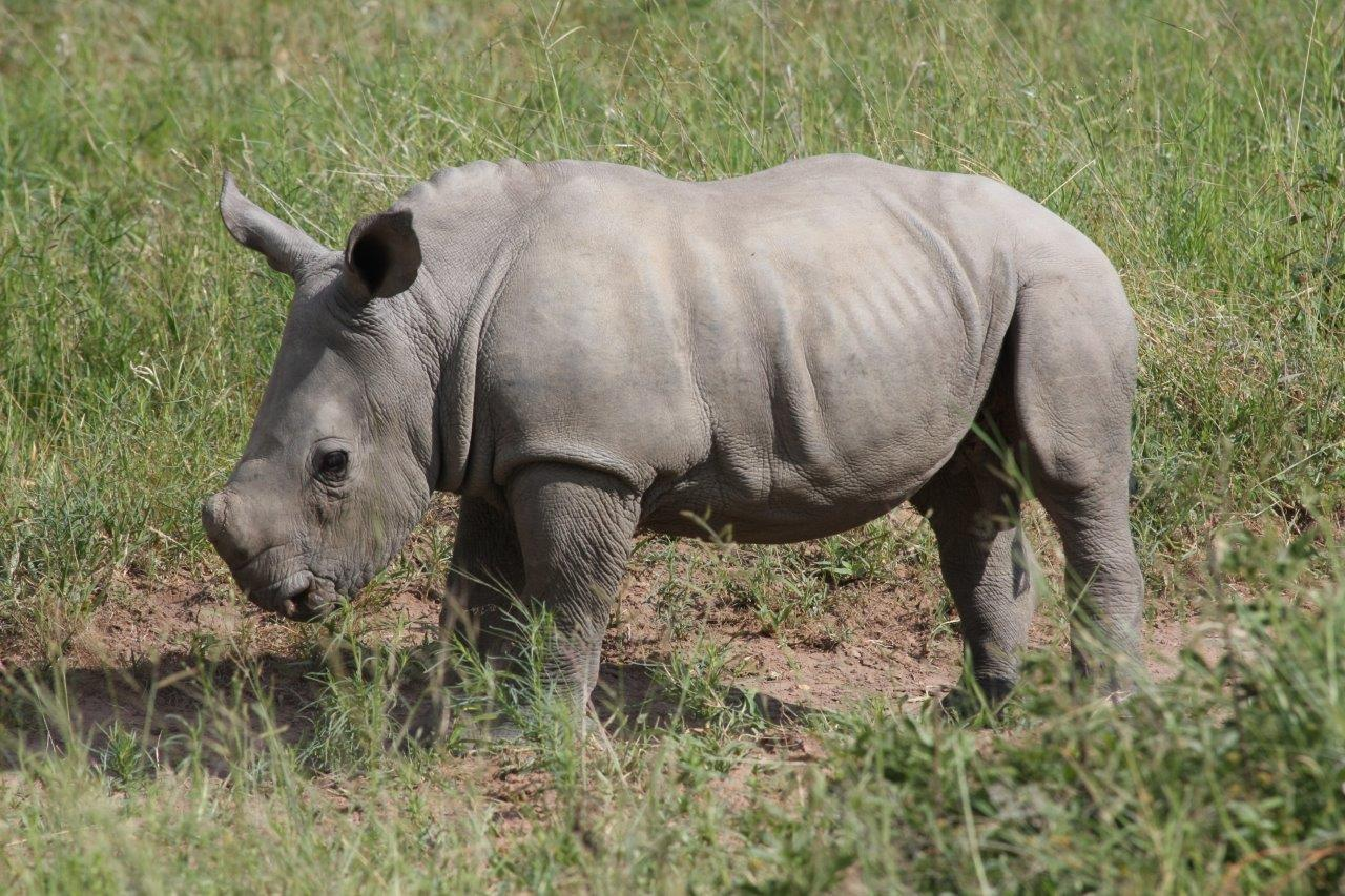 Rhino Conservation South Africa, Rhino Protection, Save the