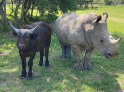 rhino and buffalo best friends