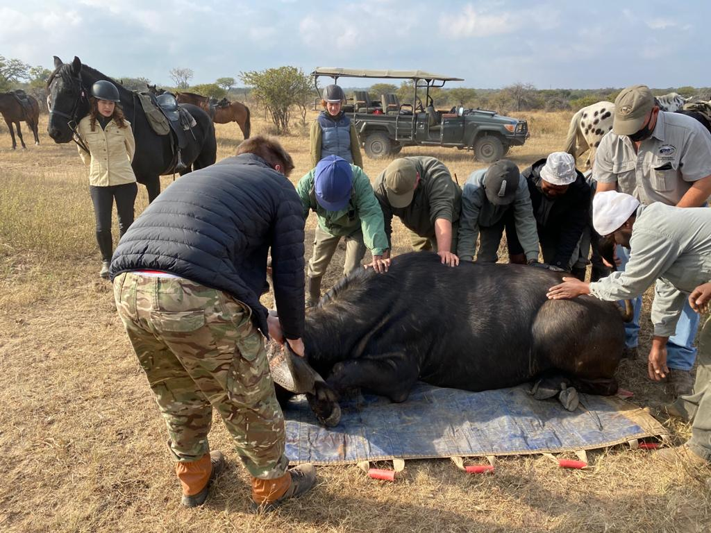 game census safari, wildlife conservation, buffalo and conservation